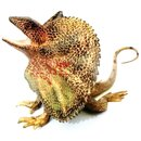 Animals of Australia 78001 - Frill-necked Lizard